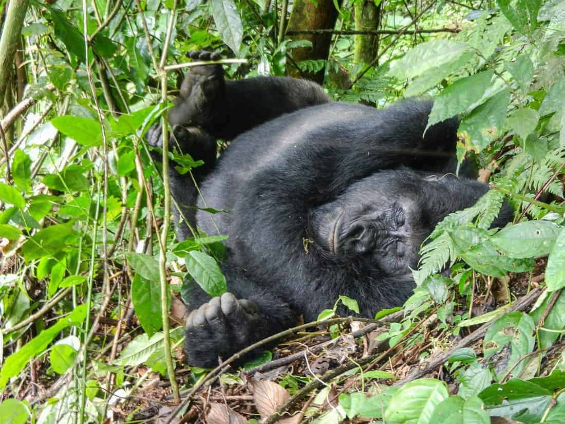 What is it really like to visit the mountain gorillas in Africa? I went to Uganda's Bwindi Impenetrable Forest to find out. It's a once in a lifetime experience bound to make your heart beat even years later. #mountaingorillas #gorillatrekking