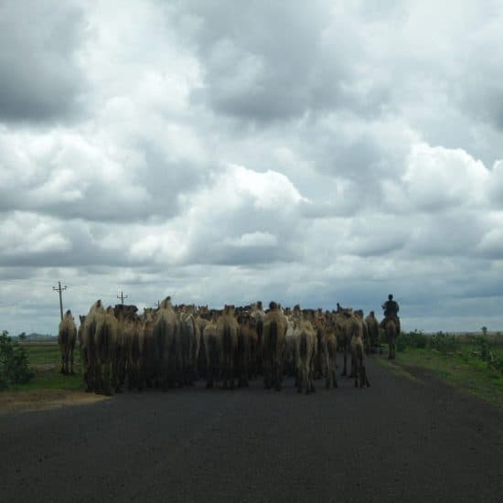 Camels on the road into Sudan (2012-07)