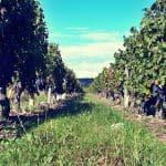 Grape vines during harvest time, France (2014-10)