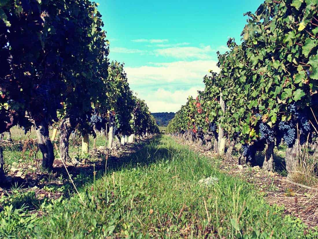 Grape vines during harvest time, France (2014-10)