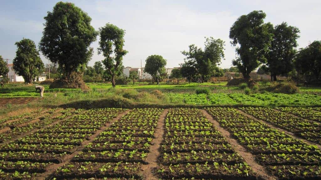 Vegetable fields in Bamako, Mali (2011-11)