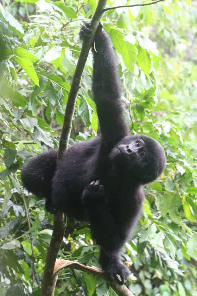 What is it really like to visit the mountain gorillas in Africa? I went to Uganda's Bwindi Impenetrable Forest to find out. It's a once in a lifetime experience bound to make your heart beat even years later. #mountaingorillas #gorillatrekking #travelguide