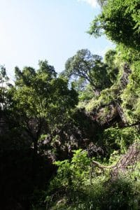 Looking up at trees in Chinhoyi Caves National Park, Zimbabwe (2012-04)