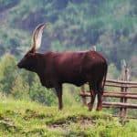 Long-horn cow, Kilembe, Uganda (2012-05)