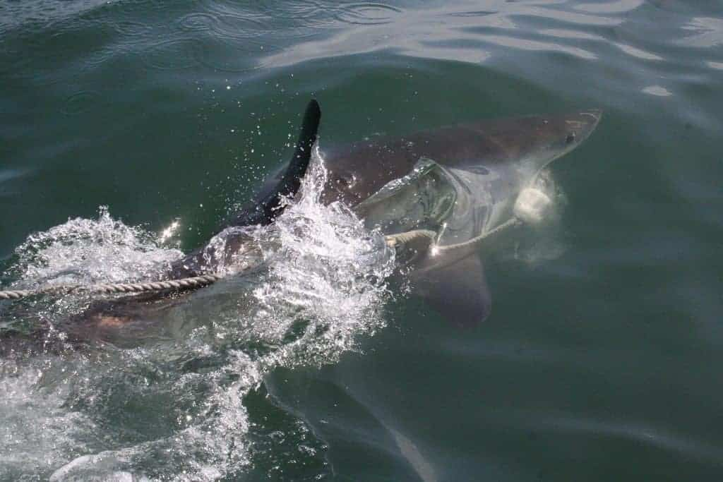 Shark in Gaantsbaai, South Africa (2012-03)