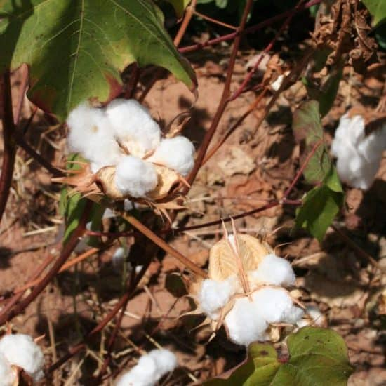 Cotton flowers, Mali (2011-11)