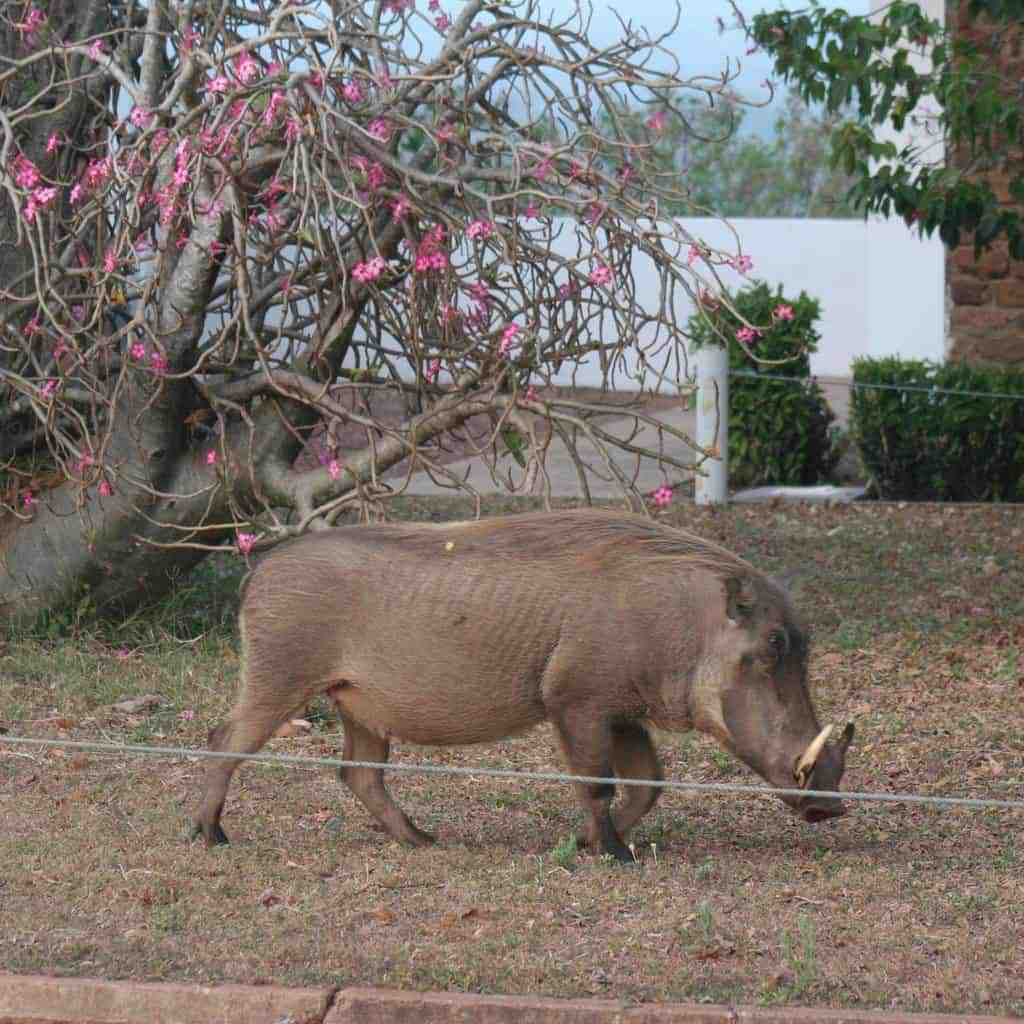 Wart hog in Mole National Park, Ghana (2011-12)