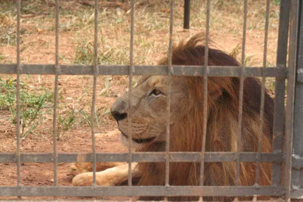 Lion behind bars in Mvog Betsi zoo, Yaounde, Cameroon (2012-01)