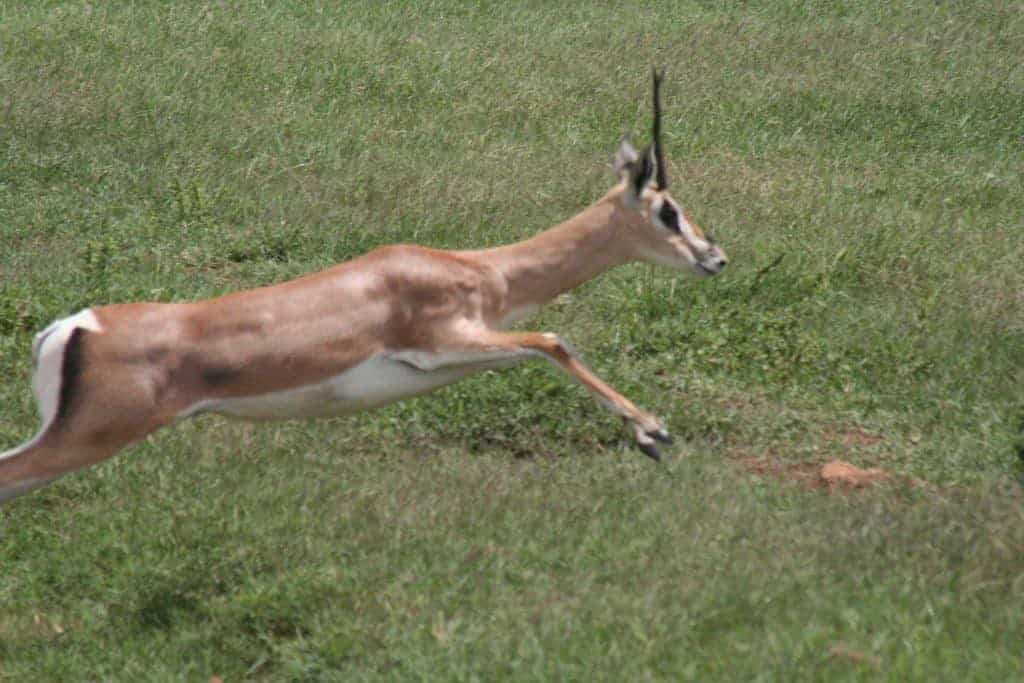 Jumping antelope in Ngoro Ngoro National Park, Tanzania (2012-05)