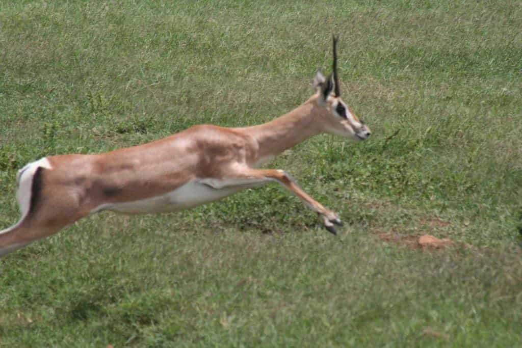 Jumping antelope in Ngoro Ngoro National Park, Tanzania (2012-05)