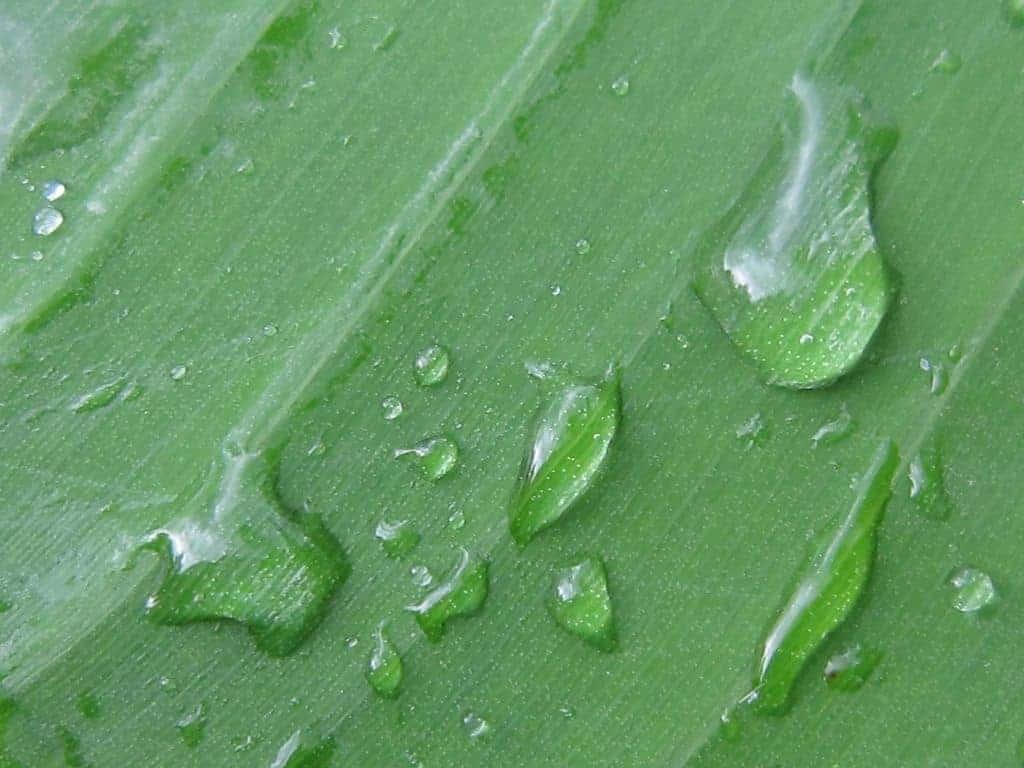 Rain drops on a green leaf, Rwenzori Mountains, Uganda (2012-05)