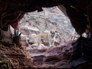 Dog looking into Bedouin tent at Treasury view point 1 in Petra, Jordan (2016-12-25)
