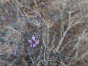 Flowers in Ramon Crater, Mitspe Ramon, Israel (2017-02-08)