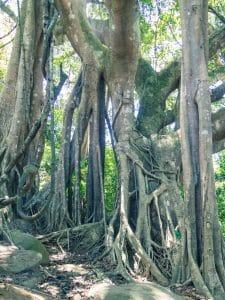 The Heritage Banyan Tree, Monkey Peak, Da Nang, Vietnam (2017-06)