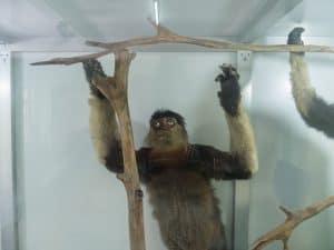 Taxidermied monkey at Phong Nha, Botanical Garden, Vietnam (2017-06)