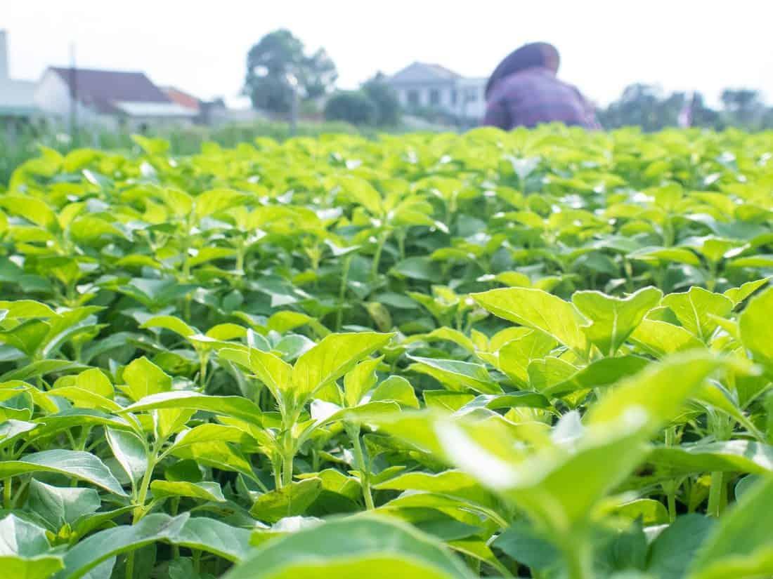 Herb field in Tra Que Organic Village during Hoi An food tour, Vietnam (2017-05)