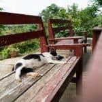 Inle Lake bike tour: Daily dosis of cat at Red Mountain Vineyard, Myanmar (2017-10)