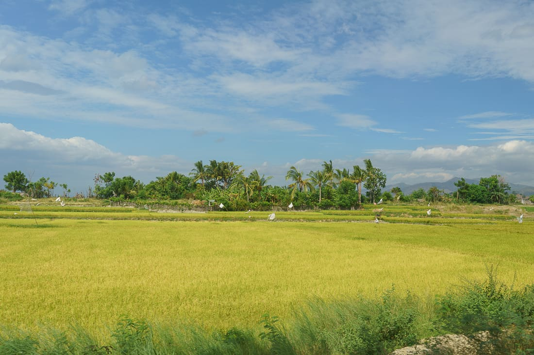 Rice fields, East Timor