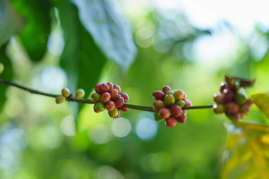 Ripe coffee beans in Letefoho, East Timor